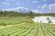 plantation de thé, île Maurice