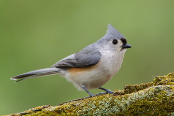 Tufted Titmouse, songbird with mossy log & natural background