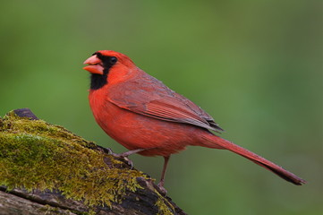 Northern Cardinal on mossy log with natural green background