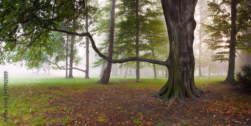Foto op Plexiglas Bos in mist Mighty Beech Tree in foggy forest park