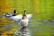 Mallard duck waving wings on the pond