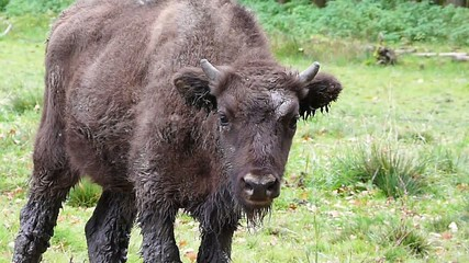 European bison young