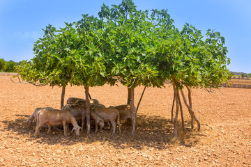 flock of sheep under fig tree shadow on summer
