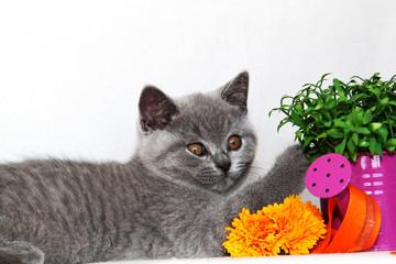 Britisch Kurzhaar Kitten mit Gießkanne und Spielzeug