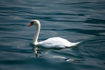 Cigno sul lago di Como