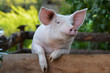 Leinwanddruck Bild - Hausschwein