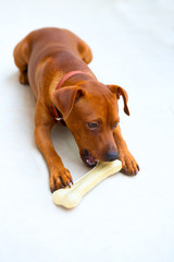 browin mini pinscher dog eating a bone