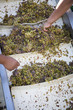 Workers Processing White Wine Grapes at a Vineyard
