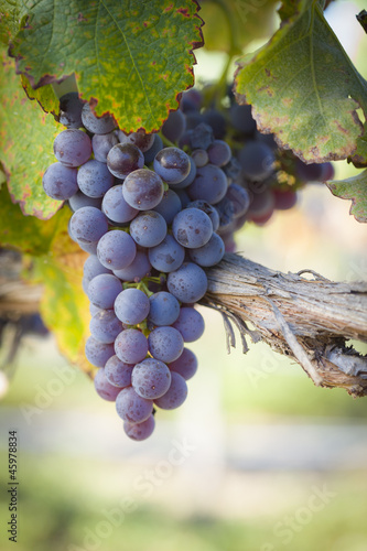 Papiers peints Vignoble Lush, Ripe Wine Grapes on the Vine
