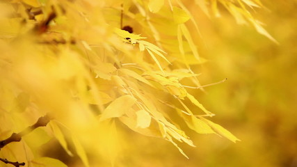 yellow autumn leaves on a tree 2