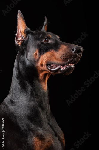 Doberman Pinscher on black