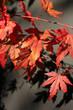 Red japanese maple leaves against black backgorund