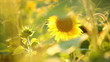 sunflowers, shallow depth of field 5