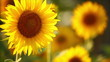 sunflowers, shallow depth of field 1