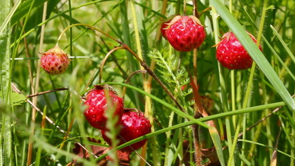 wild strawberry close-up