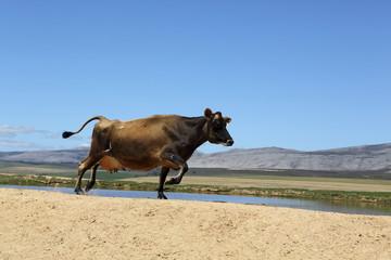 lustige rennende Kuh vor tollem Bergpanorama