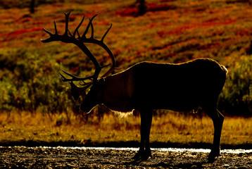 Caribou - Denali National Park