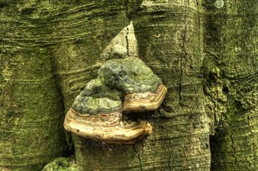 fungo del legno su corteccia