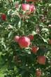 畑のりんご