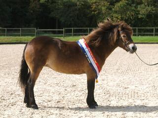 Champion Exmoor Pony