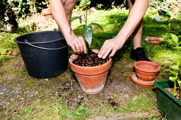 Junger gärtner pflanzt Mango bäume in einem Blumentopf