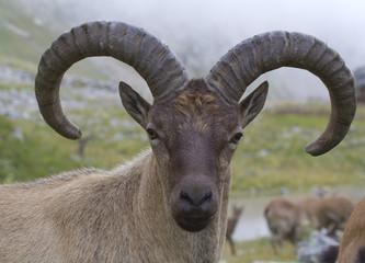 caucasian goat