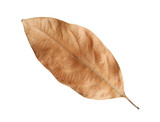 Dried leaf isolated on white background