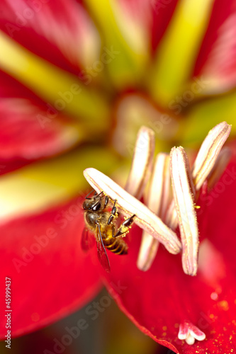 Macro shot on bee harvesting nectars on red flower