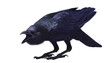 Jungle crow, Corvus macrorhynchos, side view