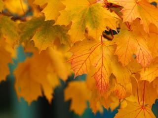 Verfärbte Ahornblätter