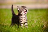 tabby kitten meowing portrait poster