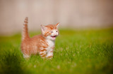 red and white tiny kitten meowing poster