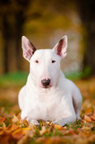 white bull terrier laying in the leaves