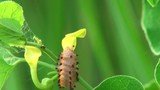 Beautiful caterpillar eats green leaves