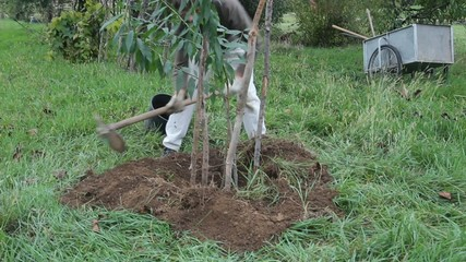 man planting a peach tree in the garden