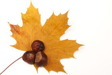 Chestnuts lying on maple tree leaf