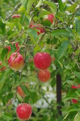 りんごの実 -陽光-