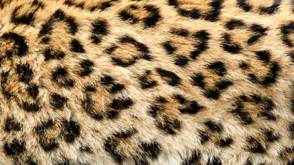 Real Live North Chinese Leopard Skin Texture Background
