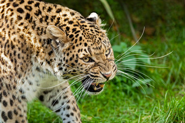 Snarling Angry North Chinese Leopard Large Whiskers