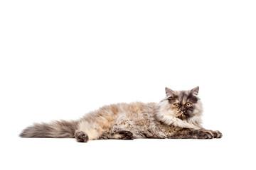 Chincilla Persial Cat