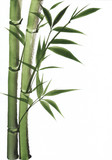 Watercolor painting of bamboo - 46031495