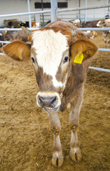 a heifer cattle ranch