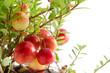 クランベリーの実と枝