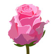 Pink roses isolated on white background, vector