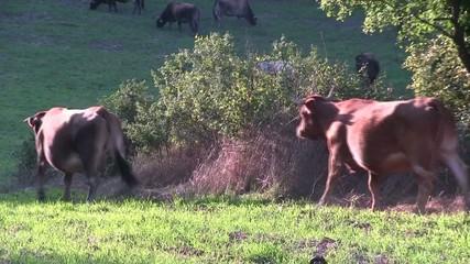 Vacas Patura