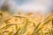 Dry wheat closeup photo