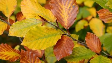 Intensive Färbung der Blätter eines Fagus sylvatica (Buche)