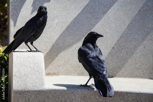 Crows at Rest