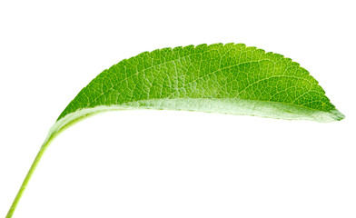 Bright green leaf isolated on white background