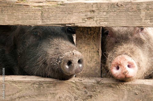 Peeking piggies
